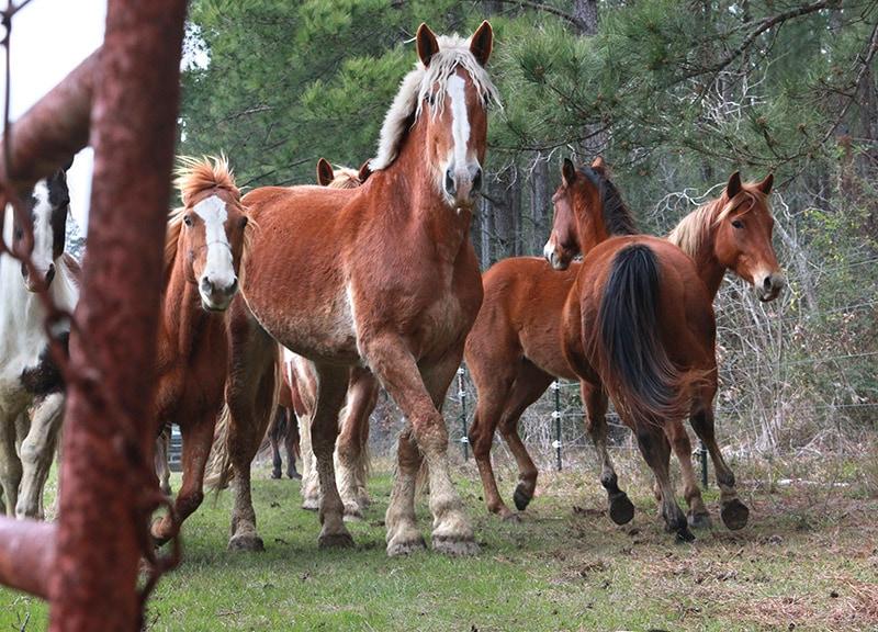 horses stopped looking at camera man