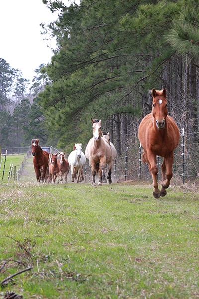 horses running away from the barn