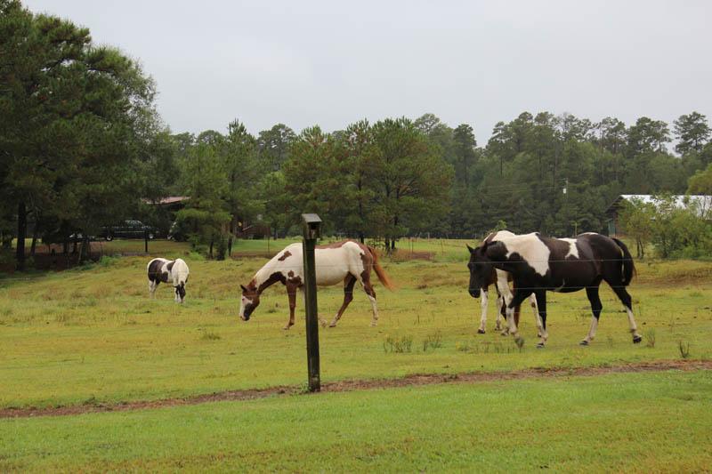 paint horses in rain