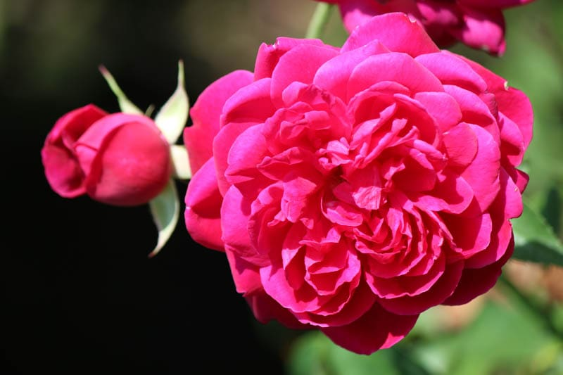 rose maggie