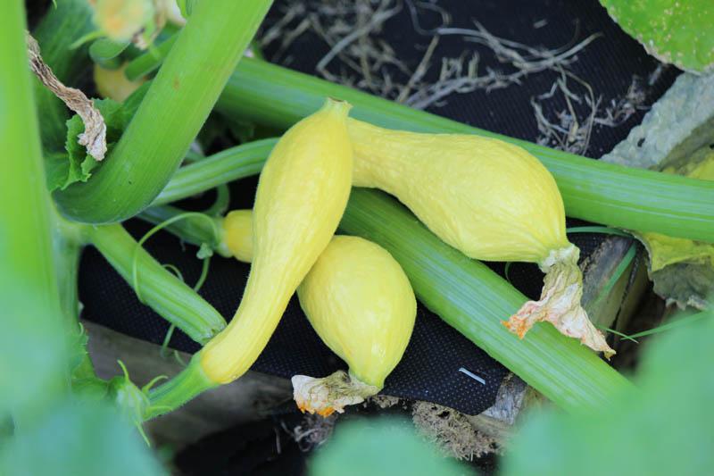 squash in the garden