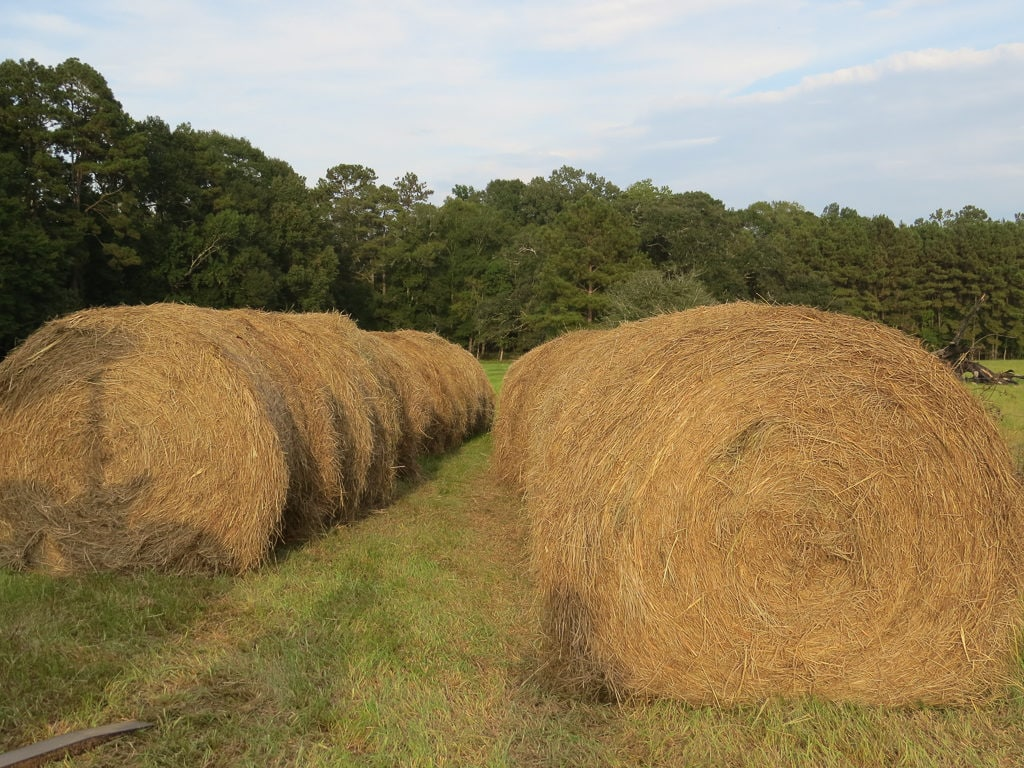 Round bales of hay in the field