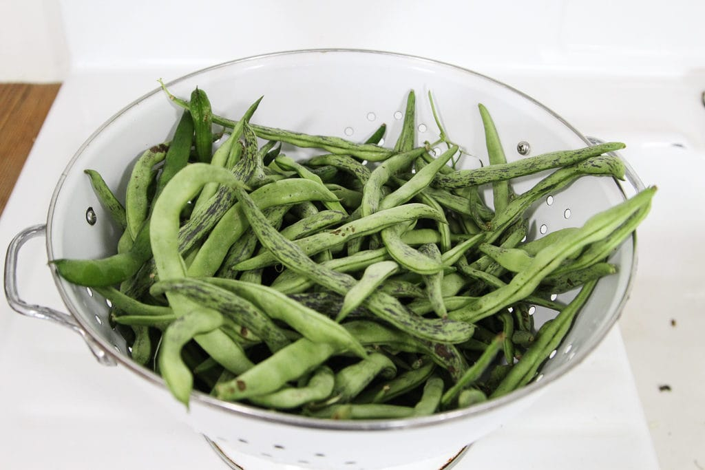 Showing what freshly picked green beans look like.