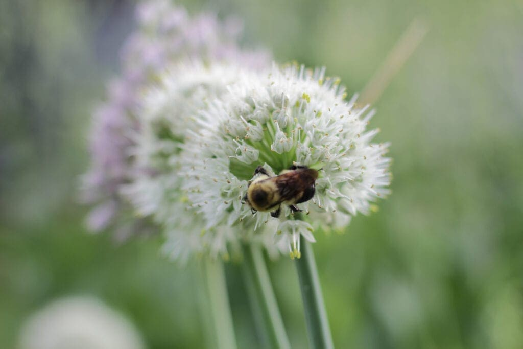 close up of a bee on an onion plant in the herb garden
